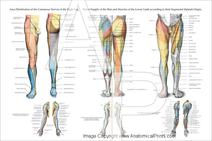 Nerve Innervation of Lower Extremities