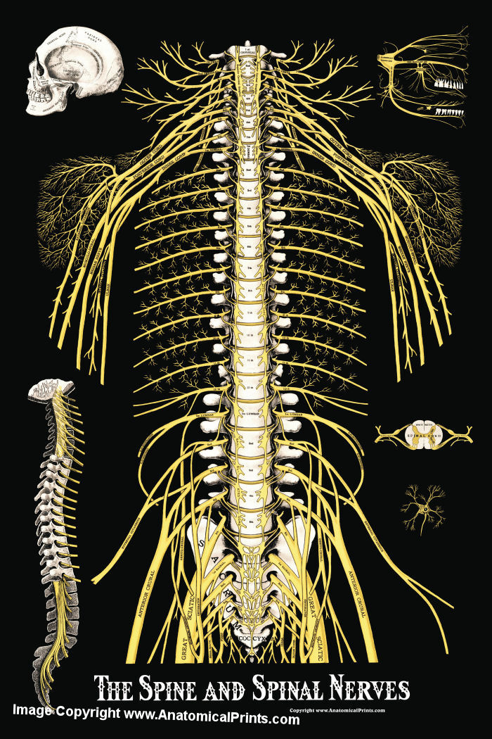Spinal nerves anatomy
